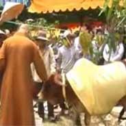 Kỳ Lạ Chuyện Quy Y Cửa Phật Của Một Chú Bò Ở TP.HCM